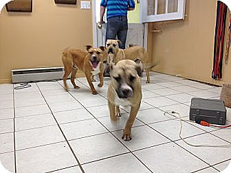 American Bulldog/Terrier (Unknown Type, Medium) Mix Dog for adoption in manville, New Jersey - Jake Jr