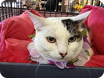 Turkish Van Cat for adoption in Cerritos, California - DaisyMae