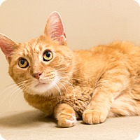Domestic Shorthair Cat for adoption in Chicago, Illinois - Señor Kitty