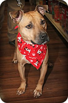 Shepherd (Unknown Type)/Pit Bull Terrier Mix Dog for adoption in Macon, Georgia - Abi