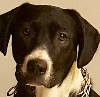 Labrador Retriever Mix Dog for adoption in Toms River, New Jersey - Jackson