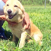 Adopt A Pet :: Suzette - New Canaan, CT