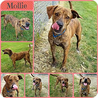 Plott Hound Mix Dog for adoption in Joliet, Illinois - Mollie