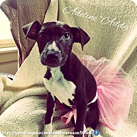 Adopt A Pet :: Addy - Colonial Heights, VA