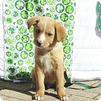Australian Shepherd Mix Puppy for adoption in West Chicago, Illinois - Glennon