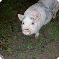 Adopt A Pet :: Porky-Wilbur (courtesy) - Cincinnati, OH