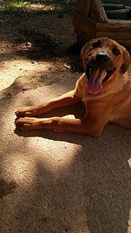 Labrador Retriever/Hound (Unknown Type) Mix Dog for adoption in Loganville, Georgia - Irish