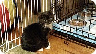 Domestic Shorthair Kitten for adoption in Wakinsville, Georgia - Kirby