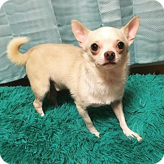 Chihuahua Dog for adoption in Davie, Florida - Ares