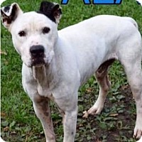 American Pit Bull Terrier Mix Dog for adoption in Saginaw, Michigan - Aladdin
