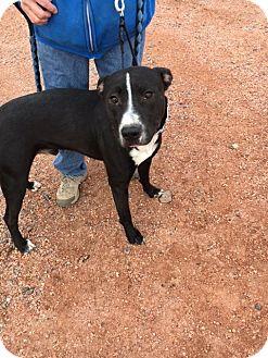Pit Bull Terrier/American Bulldog Mix Dog for adoption in Cedaredge, Colorado - Baloo
