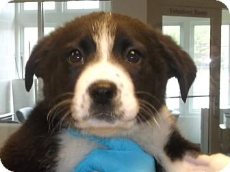 Labrador Retriever Mix Puppy for adoption in Gloucester, Virginia - SPRINKLES