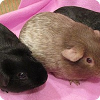 Adopt A Pet :: Lucille - Steger, IL