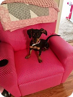 Dachshund/Chihuahua Mix Dog for adoption in Pearland, Texas - Bella