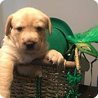 Adopt A Pet :: Acacia's Puppy ASPEN - PENDING ADOPTION - Murrells Inlet, SC