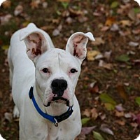 Adopt A Pet :: Radar - Brentwood, TN