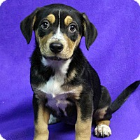 Adopt A Pet :: Kelsey - Westminster, CO