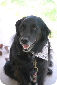 Flat-Coated Retriever Mix Dog for adoption in Phoenix, Arizona - Larry