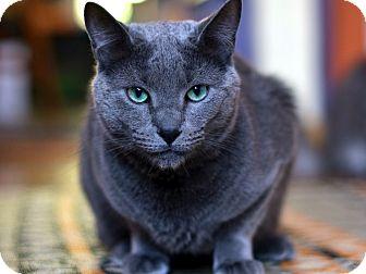 Russian Blue Cat for adoption in Brooklyn, New York - Oscar