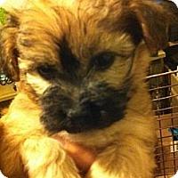 Adopt A Pet :: Cinnamon - pasadena, CA