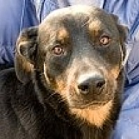 Rottweiler Dog for adoption in Lago Vista, Texas - Durango