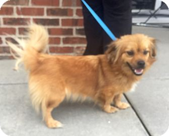 Pekingese/Pomeranian Mix Puppy for adoption in Mount Pleasant, South Carolina - Muffin