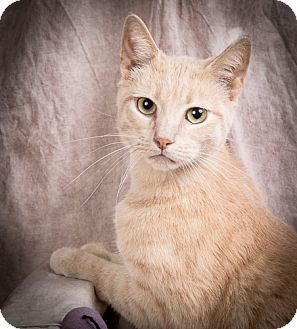 Domestic Shorthair Cat for adoption in Anna, Illinois - CID