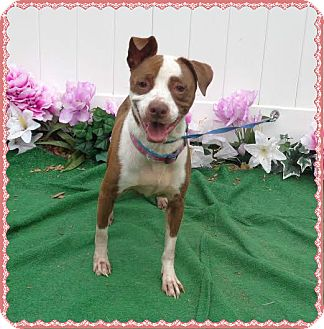 American Pit Bull Terrier Mix Dog for adoption in Marietta, Georgia - LUCINDA (R)