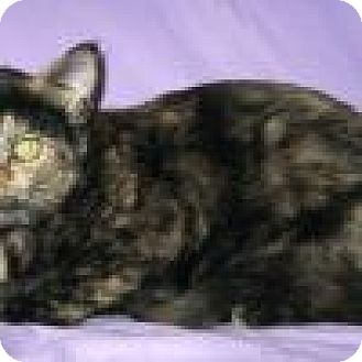 Domestic Shorthair Cat for adoption in Powell, Ohio - Kricket