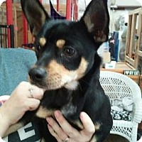 Manchester Terrier Mix Puppy for adoption in Centerville, Georgia - Nick
