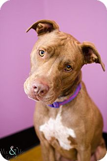 American Pit Bull Terrier Mix Dog for adoption in Von Ormy, Texas - Blaze