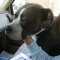 Pit Bull Terrier Mix Dog for adoption in North, Virginia - Catherine