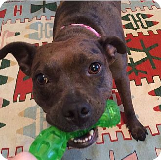 Staffordshire Bull Terrier/American Staffordshire Terrier Mix Dog for adoption in Pittsburgh, Pennsylvania - Phoebe