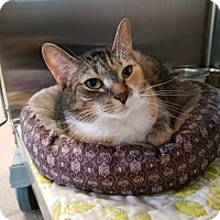 Domestic Shorthair Cat for adoption in Chambersburg, Pennsylvania - Molly