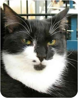 Domestic Shorthair Cat for adoption in Plainville, Massachusetts - Rachel1