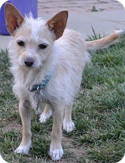Norfolk Terrier Mix Dog for adoption in Simi Valley, California - Buddy