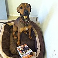 Rhodesian Ridgeback/Hound (Unknown Type) Mix Dog for adoption in Fair Oaks Ranch, Texas - Ollie