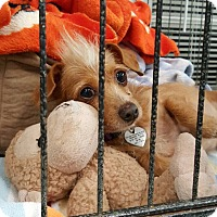 Adopt A Pet :: Ollie - North Hollywood, CA