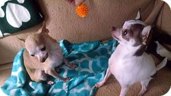 Chihuahua Mix Dog for adoption in kennebunkport, Maine - Angel & Magen Rose - in Maine