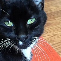 Domestic Shorthair Cat for adoption in Mansfield, Ohio - Tiny Bubbles