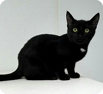 Domestic Shorthair Cat for adoption in Manteo, North Carolina - Tucker