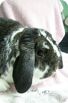 Lop-Eared Mix for adoption in Harrisburg, Pennsylvania - Dorothy
