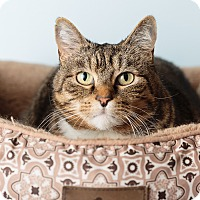 Adopt A Pet :: Socks - Hendersonville, NC