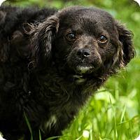 Adopt A Pet :: Bella - Auburn, CA