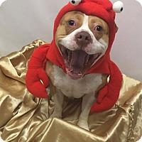Adopt A Pet :: 1702-0245 AY-GRIP - Virginia Beach, VA