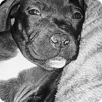 Labrador Retriever/Pit Bull Terrier Mix Puppy for adoption in Wichita Falls, Texas - Cupid