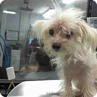 Adopt A Pet :: JOEY - Houston, TX