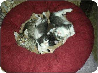 Domestic Shorthair Kitten for adoption in Huffman, Texas - Tigger