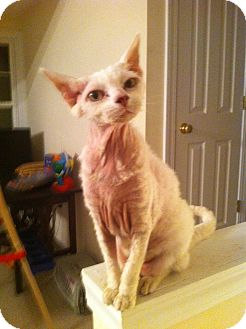 Sphynx Cat for adoption in Easley, South Carolina - Sassy
