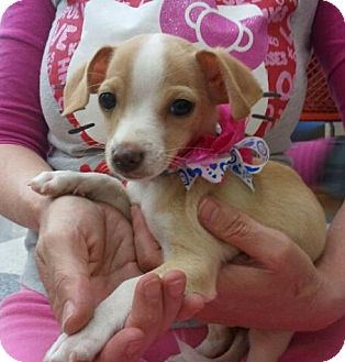 Chihuahua Mix Puppy for adoption in Encinitas, California - Teddy
